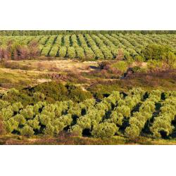 "A O P Aix en Provence «Font de Leu"" fruité vert extra vierge"