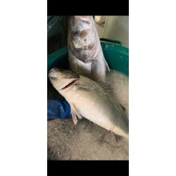 Bars extra frais pêche à ligne