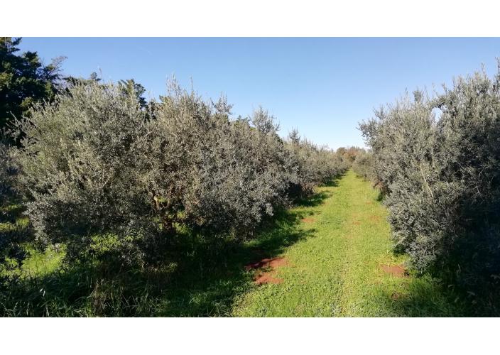 Huile d'olive vierge extra artisanale de Provence (50cl)